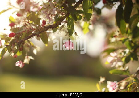 Sun shining on pink blossom - Stock Image