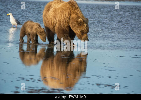 Two Grizzly Bears, Mother and Spring Cub, Ursus arctos, clamming in the tidal flats of the Cook Inlet, Alaska, USA - Stock Image