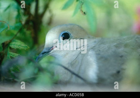 Mourning Dove - Stock Image