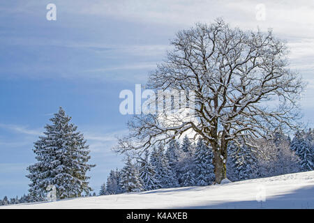 Magnificent Deciduous Tree In Wintry Landscape Of The Isar Angle In Lenggries - Stock Image