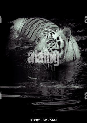White tiger in water - Stock Image