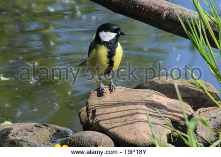 Great Tit (Parus major) perched on a rock near some water - Stock Image