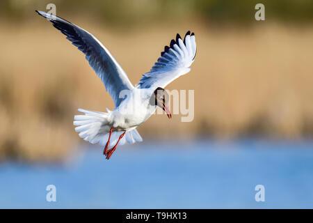 Black-headed Gull; - Stock Image
