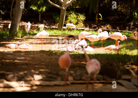 pink flamingos in shade and sunshine - Stock Image