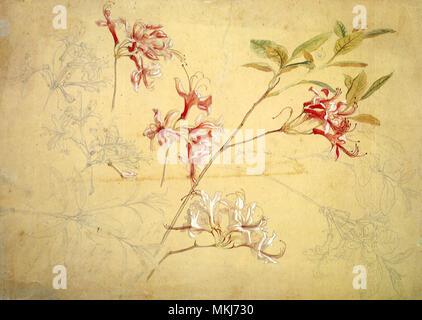 Azaleas - Stock Image