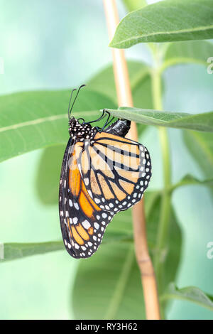 Monarch butterfly Danaus plexippus A female monarch butterfly laying eggs on milkweed - Stock Image