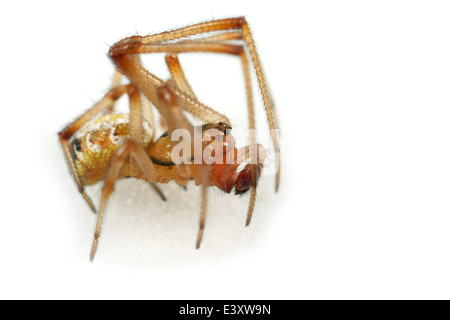 Male Theridion impressum spider, part of the family Theridiidae - cobweb weavers. Isolated on white background. - Stock Image