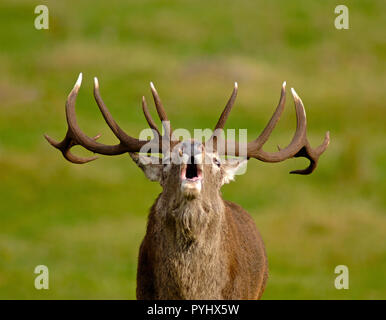 Red Deer stag doing the Autumn Rut bellowing out a challenge to other competing males for access to the harem of females which can result in fights. - Stock Image