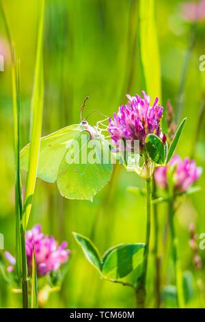 A common brimstone butterfly (gonepteryx rhamni) feeding nectar from a butterfly-bush or Buddleja - Stock Image