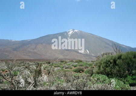 A View of the Volcanic Mountain, Mt Teide. Tenerife National Park, Canary Islands. With Teide Broom, Spartocytisus supranubius. - Stock Image