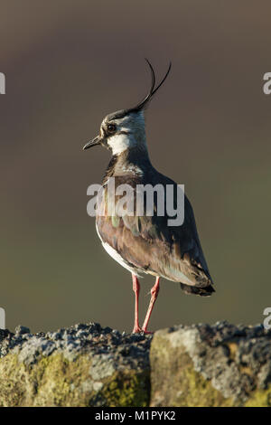 Northern lapwing (Vanellus vanellus) standing on a stone wall in morning light, head turned showing crest - Stock Image