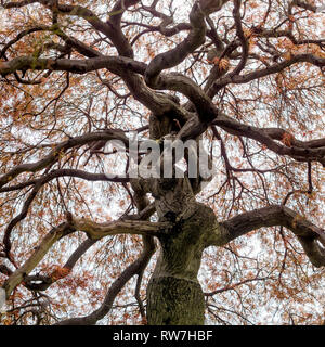 Low Angle View of Cutleaf Japanese Maple Tree with Orange Leaves - Stock Image