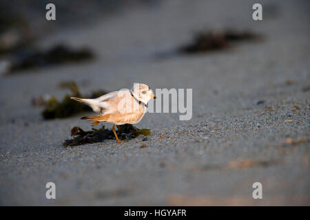 Piping plover, Charadrius meoldus, on the beach at the Nature Conservancy's Griswold Point Preserve in Old Lyme, - Stock Image