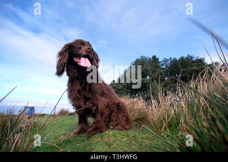 Cocker spaniel out for a walk - Stock Image