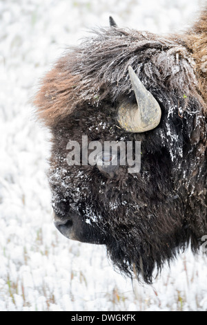 An ice-covered bison in an autumn snow storm in Yellowstone National Park. - Stock Image