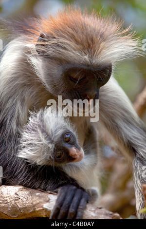 Zanzibar, Jozani National Park. Rare red colobus monkeys in the trees of the Jozani National Park. - Stock Image