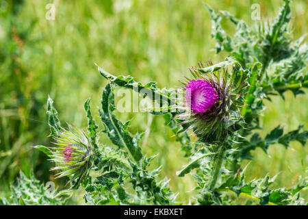 musk thistle, Cressbrook Dale NNR Peak District National Park June 2014 - Stock Image