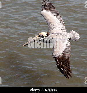 Brown pelican (Pelecanus occidentalis) flying above the Cooper River off Charleston, South Carolina, USA. The bird flies just a couple of feet above t - Stock Image