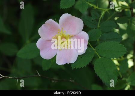 A wild rose blossom. - Stock Image