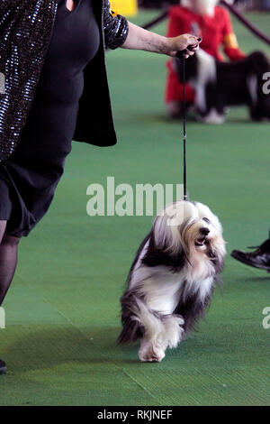 New York, United States. 11th Feb, 2019. Westminster Dog Show - New York City, 11 February, 2019: A Tibetan Terrier is shown by his handler during the Best of Breed Competition at the 143rd Annual Westminster Dog Show in New York City/ Credit: Adam Stoltman/Alamy Live News - Stock Image