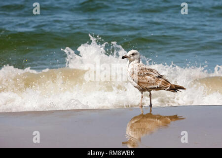The sea wave splashes and the seagull, which stands on the very shore of the Baltic Sea, remains calm. This was observed on the beach in Kolobrzeg, Po - Stock Image