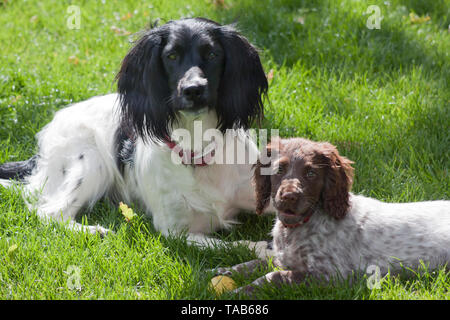 Springer spaniel and her puppy, Full profile portrait lying in grass, England, UK - Stock Image