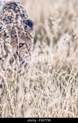 Adult Cheetah, Acinonyx  jubatus, looking through tall grass, Namibia, Africa - Stock Image