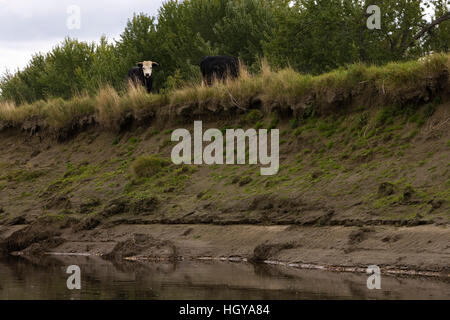 Cattle on the bank above the Connecticut River in Maidstone, Vermont. - Stock Image