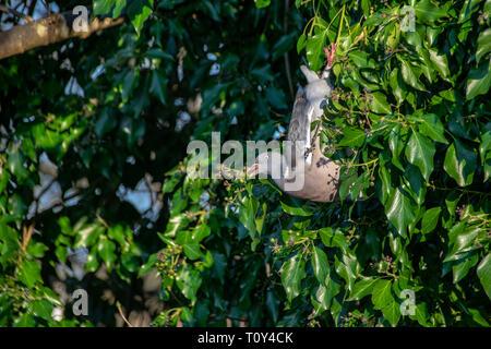 Wood pigeon ( Columba livia) hanging upside down eating winter berries from everygreen tree - Stock Image