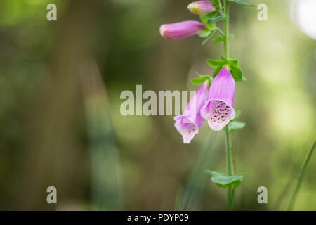 Purple bellflower with green background from Giant Mountains in Poland, sunny day - Stock Image
