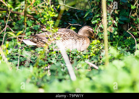 A brown female mallard duck moving in heavy undergrowth near a pond during nesting season - Stock Image