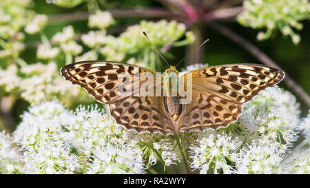 Silver-washed fritillary on Ground elder flower. Argynnis paphia. Aaegopodium podagraria. Form valesina. Butterfly close-up. Open wings. Bishop's weed. - Stock Image