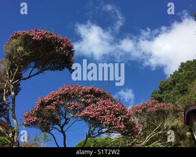Pink tea tree, blue sky, monarch butterfly - Stock Image