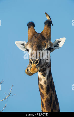 Giraffe (Giraffa camelopardalis) with Red billed oxpecker (Buphagus erythrorhynchus) on head, Marakele Private Reserve, Waterberg Biosphere Reserve, Limpopo Province, South Africa. - Stock Image