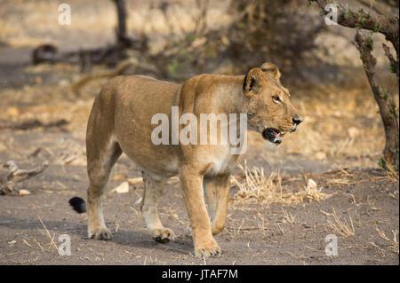 A lioness (Panthera leo) walking, Botswana, Africa - Stock Image