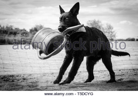 A labrador retriever puppy plaing at the Altmühlsee Gunzenhausen - Stock Image