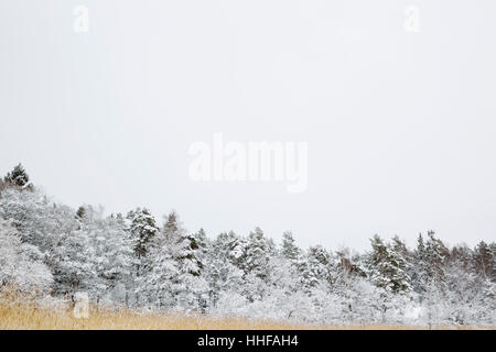 Snow covered reed bed and trees at Angson (Ängsön) near to Vasteras (Västerås) in central Sweden - Stock Image