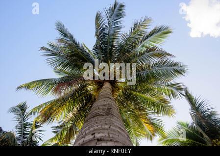 Bottom view of a beautiful palm tree with blue sunny sky - Stock Image