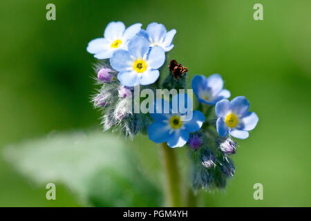 Field Forget-me-not (myosotis arvensis), or Common Forget-me-not, close up of a flowering stem. - Stock Image