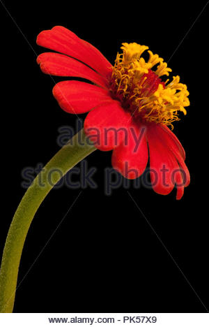 Elegant San Rafael Flower, Costa Rica - Stock Image