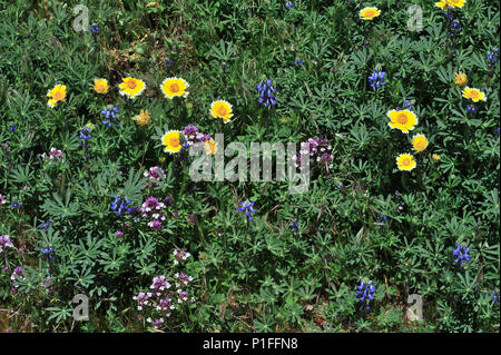 Tity tips, layai platyglosa, Owl's clover, Castilleja sp. ,  Minature lupine, Lupinus bicolor, Cuyamaca Rancho State Park, CA 080518_30390 - Stock Image