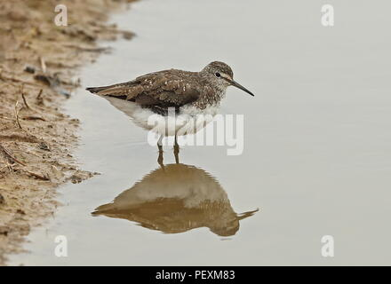 Green Sandpiper (Tringa ochropus) adult at waters edge  Cley Marshes Nature Reserve, Cley-next-the-Sea; Norfolk, UK          August - Stock Image