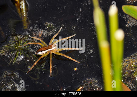 Raft Spider (Dolomedes fimbriatus) on a pond in the RSPB reserve at Arne in Dorset, England. - Stock Image