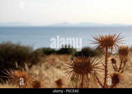 Brown Thistles drying out in the blazing Greek summer heat with the Saronic Island peaks in the Background over the Gulf, East Attica, Greece. - Stock Image