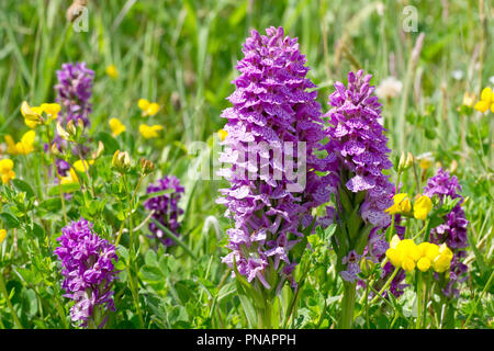 Spotted Orchids (dactylorchis fuchsii) growing with Northern Marsh Orchids (dactylorchis purpurella) and Birdsfoot-trefoil (lotus corniculatus). - Stock Image