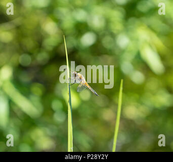 insectDragonfly on flag iris leaf - Stock Image