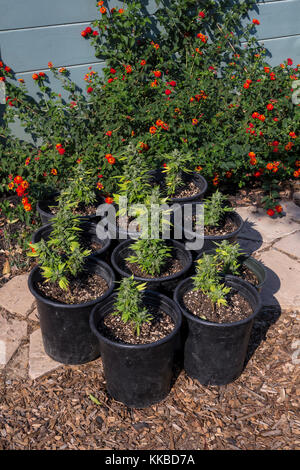 indica-sativa hybrid, cannabis plant, cannabis plants, marijuana plant, marijuana plants, medical marijuana, alternative - Stock Image