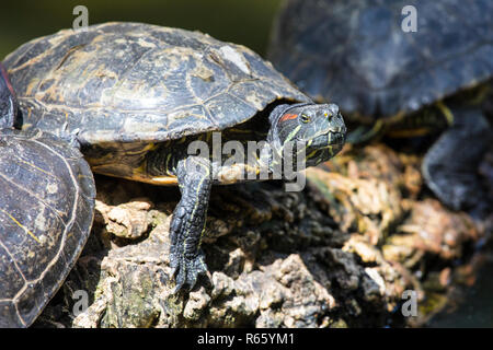 A Turtle sitting on a rock. - Stock Image