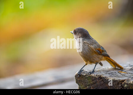 Siberian jay bird on wooden table - Stock Image