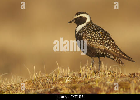 American Golden-Plover (Pluvialis dominica) feeding on the tundra in Northern Alaska. - Stock Image